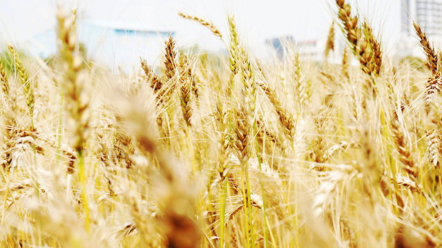 wheat-cereal-rural-straw-bread picture material