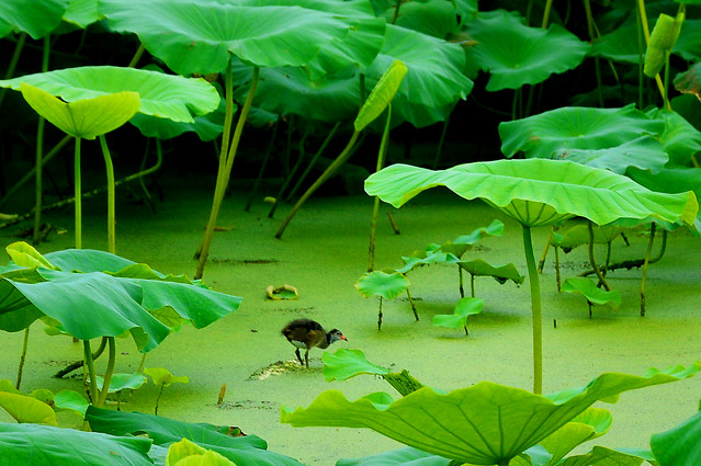 leaf-pool-tropical-environment-lotus picture material