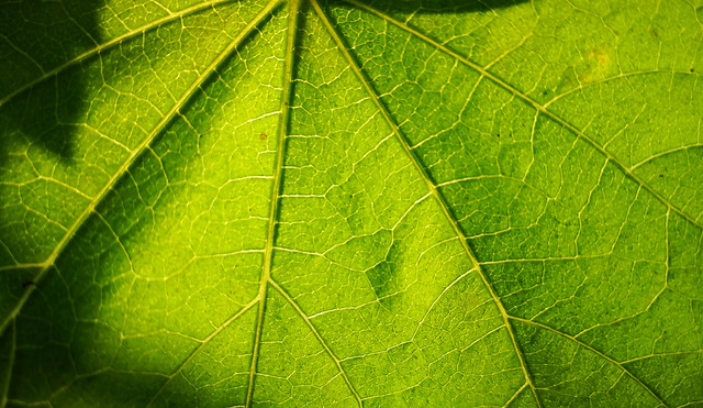 leaf-flora-vein-photosynthesis-growth picture material