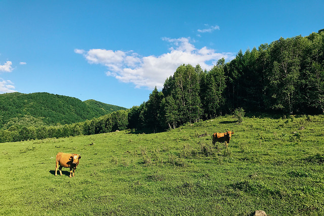 agriculture-no-person-cattle-cow-landscape picture material