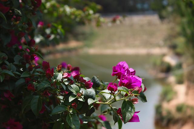 flower-garden-rose-flora-leaf 图片素材