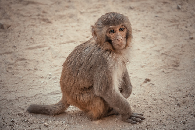 mammal-monkey-cute-primate-wildlife picture material
