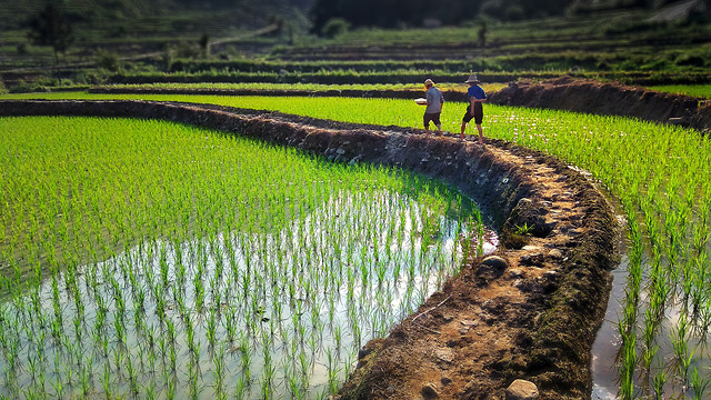 agriculture-no-person-cropland-landscape-rice picture material