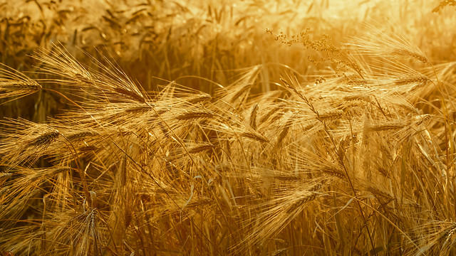wheat-barley-rye-cereal-crop picture material