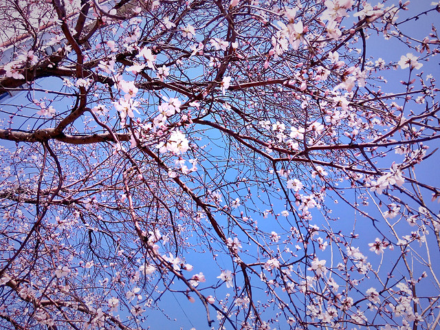 branch-tree-cherry-season-flower picture material