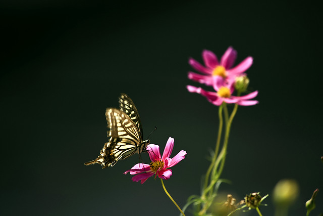 nature-no-person-butterfly-summer-flower picture material