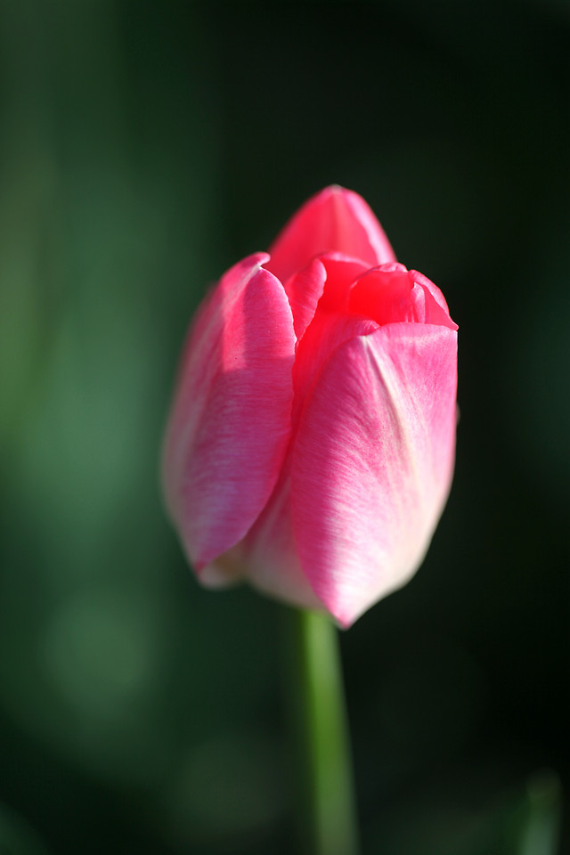 nature-flower-no-person-leaf-tulip picture material