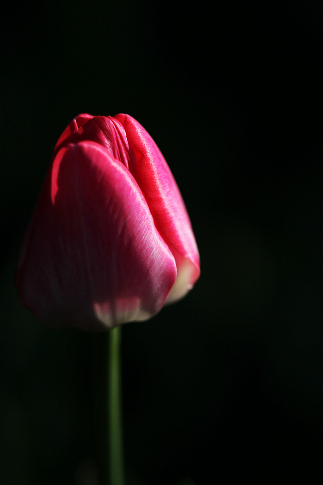 flower-tulip-nature-no-person-flora picture material
