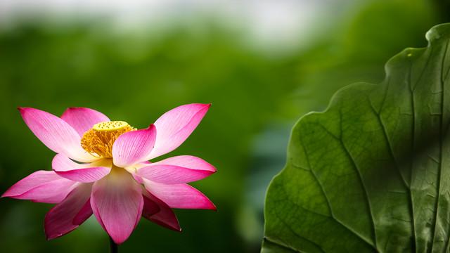 lotus-leaf-flower-nature-flora picture material