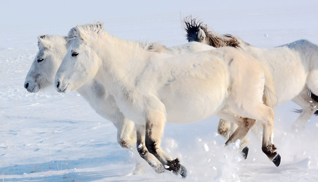 winter-snow-mammal-cold-horse picture material