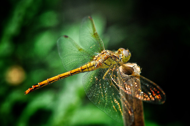 insect-dragonfly-wildlife-invertebrate-butterfly picture material