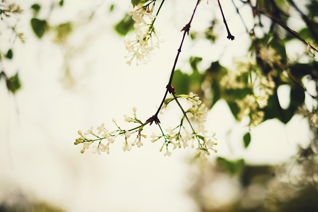 flower-tree-nature-leaf-branch picture material