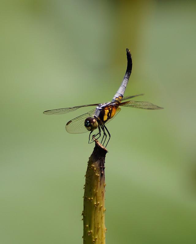 蜻蜓 picture material
