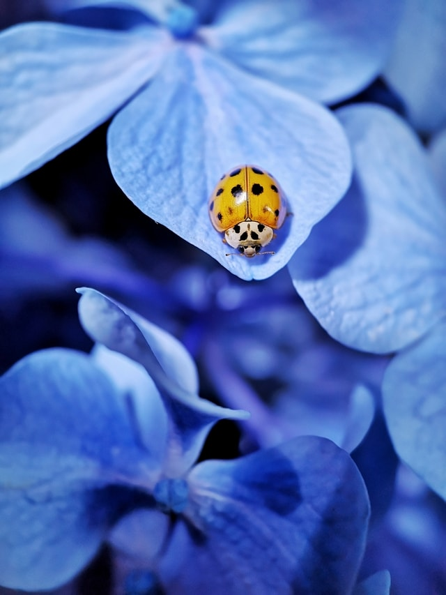 mobile-photography-macro-huawei-mobile-photography-ladybug-insect picture material