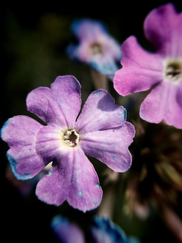 flower-no-person-flora-blue-nature 图片素材