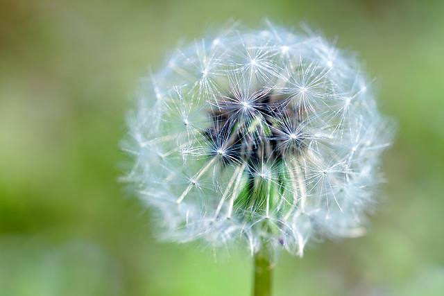 dandelion-flora-nature-summer-growth picture material