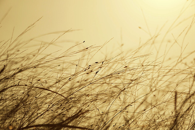 nature-field-grass-dawn-sun picture material