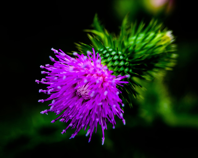 nature-flower-flora-thistle-no-person picture material