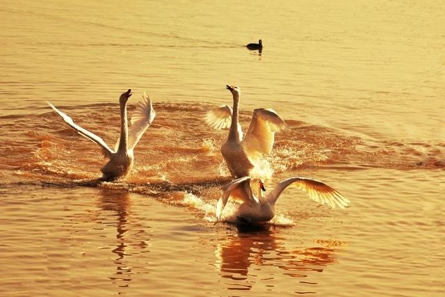 water-bird-fauna-bird-ducks-geese-and-swans-wildlife 图片素材