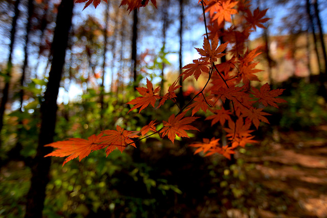 leaf-fall-maple-wood-no-person picture material