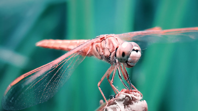 dragonfly-insect-nature-wildlife-dragonflies-damseflies picture material