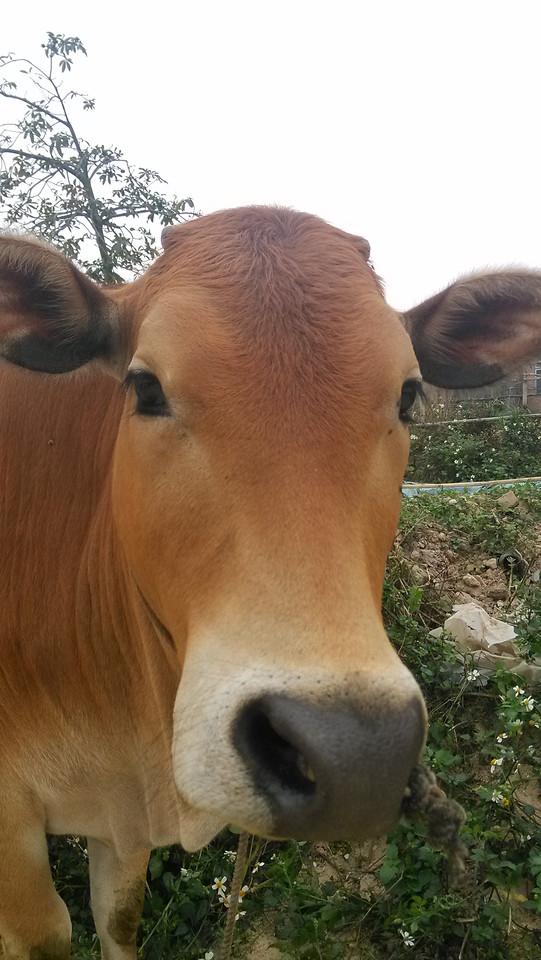 mammal-no-person-cattle-like-mammal-farm-pasture picture material