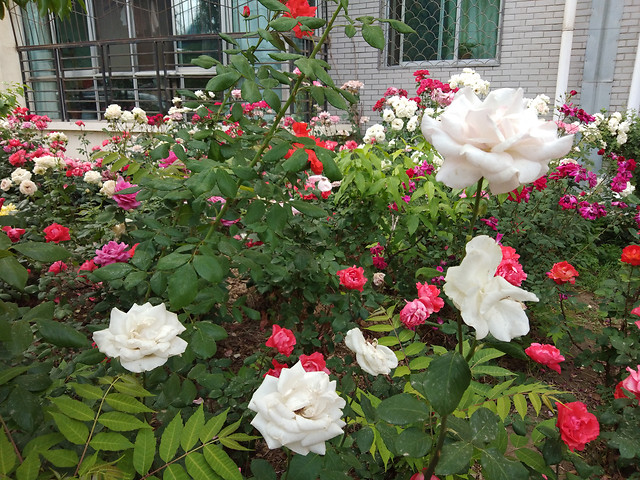 flower-rose-no-person-garden-plant picture material