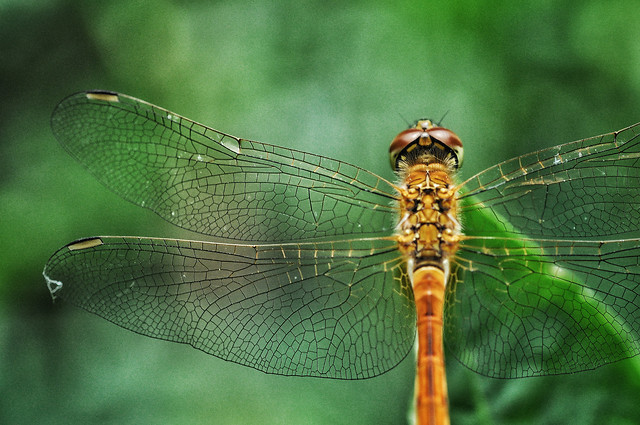 dragonfly-insect-nature-animal-damselfly picture material