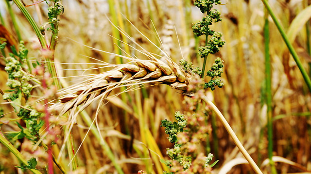 nature-crop-pasture-flora-cereal picture material