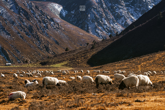 sheep-no-person-mountain-outdoors-livestock picture material
