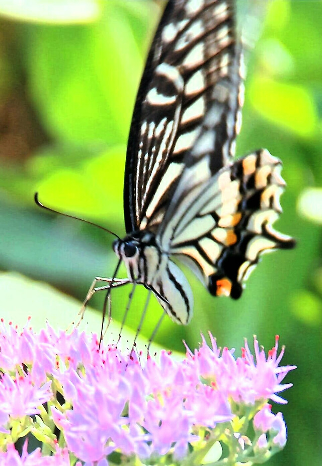butterfly-insect-nature-summer-outdoors picture material