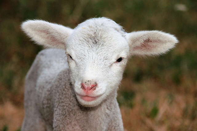 cute-sheep-mammal-animal-nature picture material