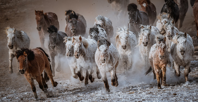 mammal-livestock-agriculture-herd-cattle picture material