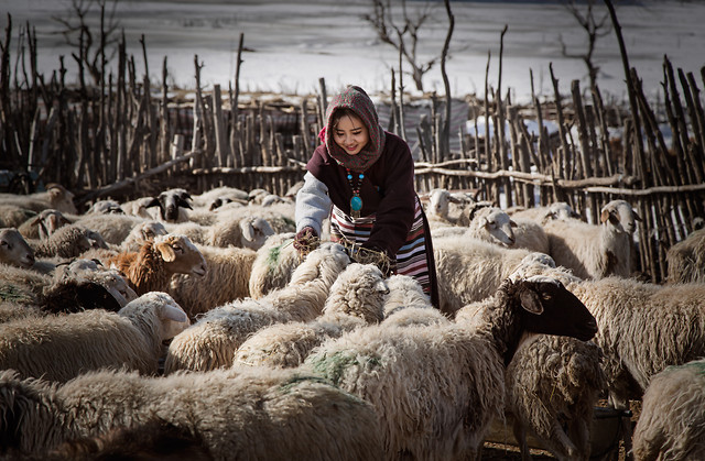 sheep-agriculture-people-livestock-farm picture material