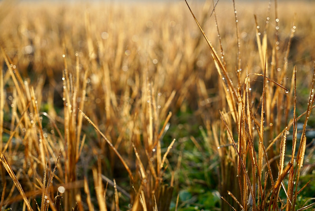 cereal-wheat-rural-field-nature picture material