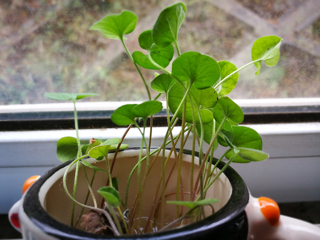 leaf-flora-pot-plant-clover picture material