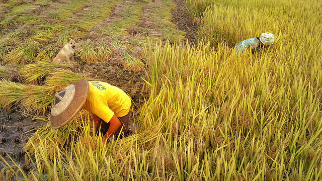nature-field-grass-rice-farm picture material