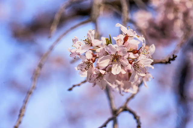flower-tree-cherry-nature-branch picture material