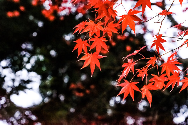 no-person-leaf-maple-leaf-tree-nature 图片素材