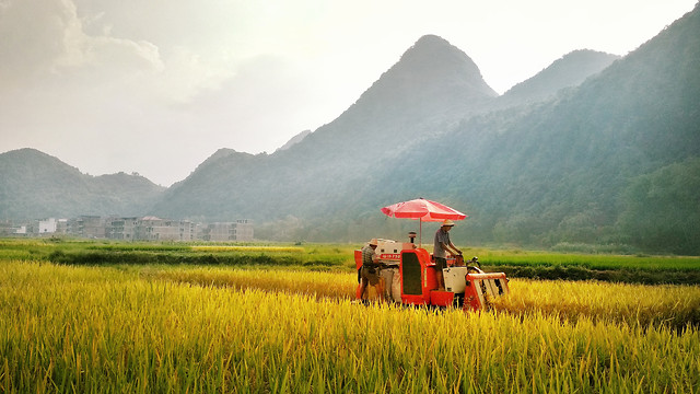 rice-cereal-agriculture-cropland-no-person picture material