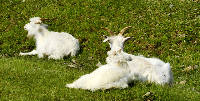 grass-mammal-goat-goats-animal picture material