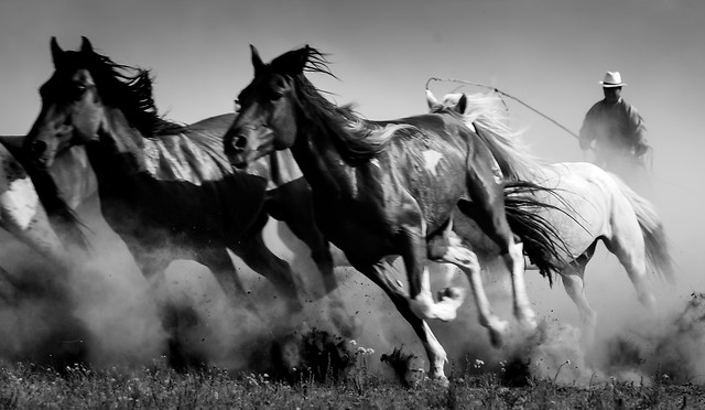 cavalry-mammal-mare-horse-monochrome 图片素材