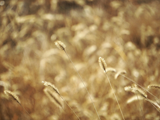 wheat-cereal-bread-field-rural picture material