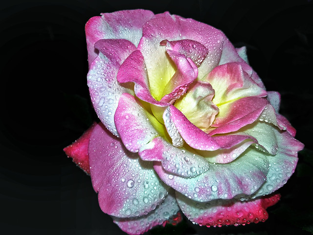flower-rose-no-person-pink-petal picture material
