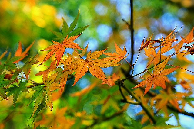leaf-fall-nature-maple-no-person picture material