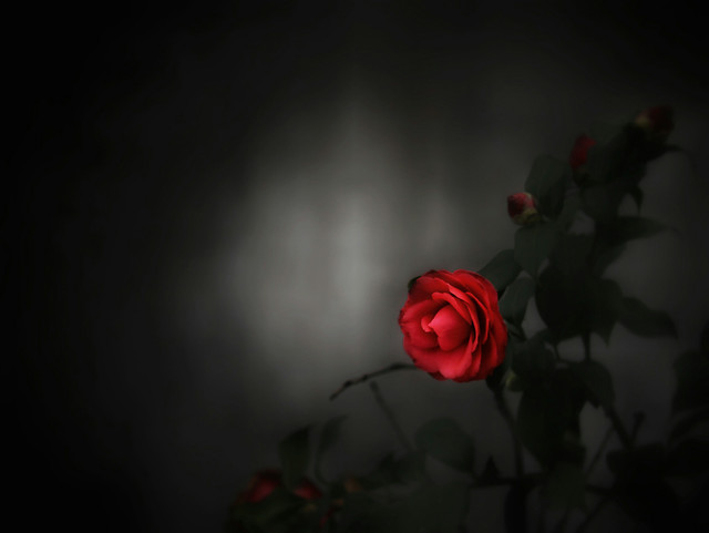 rose-flower-red-rose-family-garden-roses picture material