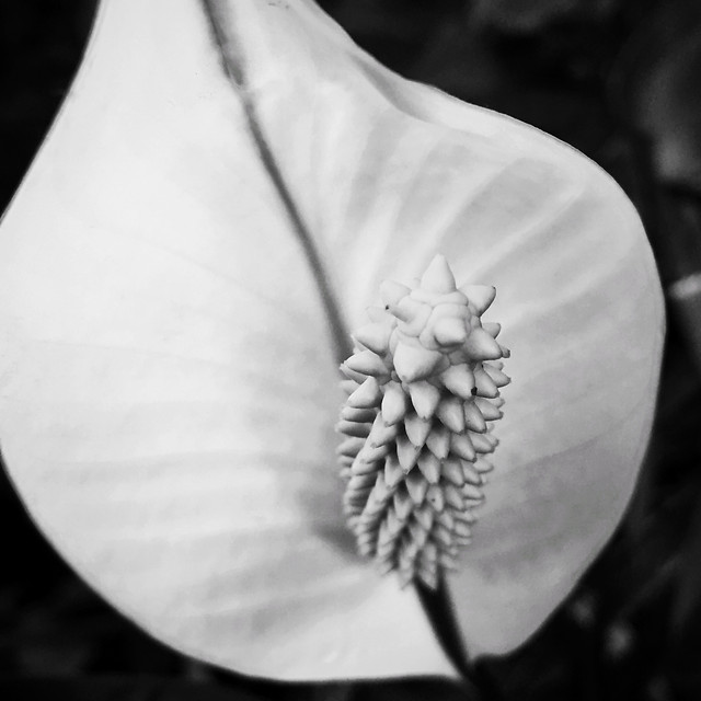 nature-monochrome-flower-bud-flora picture material