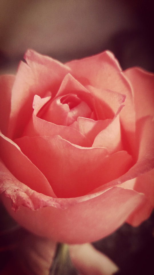 rose-flower-love-affection-romance picture material