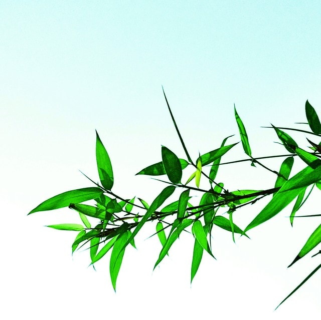 leaf-bamboo-tree-tone-mobile-photography picture material