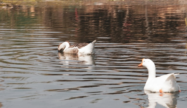 bird-duck-water-bird-swan-ducks-geese-and-swans 图片素材